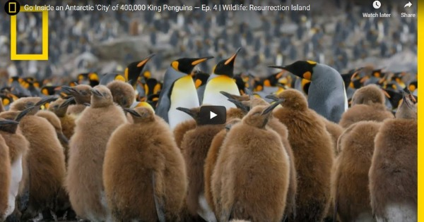 Read more about the article Go Inside an Antarctic 'City' of 400,000 King Penguins — Ep. 4 | Wildlife: Resurrection Island