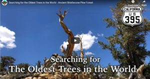 Searching for the Oldest Trees in the World – Ancient Bristlecone Pine Forest